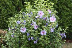 como combinar plantas en un jardin de hibisco - Buscar con Google
