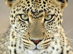 leopard | BLACK | GOLD } ... & LEOPARD EARS.