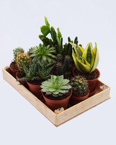 11 mini cactus y suculentas | La Plantería