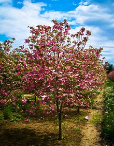 Cherokee Brave Dogwood Tree For Sale Online