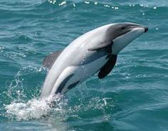 Ban sonar testing in New Zealand and save rare dolphin species! The Maui dolphins is the tiniest and rarest subspecies dolphin on the planet. Belive it or not, there are just 55 such dolph. The Ocean, Ocean Life, Orcas, Hector Dolphin, Vida Animal, Rare Animals, Strange Animals, Exotic Animals, Endangered Species