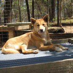 Dingo Dog, Cattle Dogs, Zoology, Tasmania, Mammals, Pup, Corgi, Australia, Animal