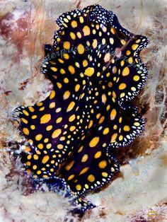 Underwater Photographer Everett M. Turner's Gallery: Cayman Feb 2009: Leopard Flatworm - DivePhotoGuide.com