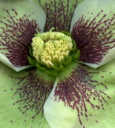 Helleborus by horticultural art, by fred . via Flickr