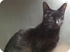 Brooklyn, NY - Domestic Shorthair. Meet ASPEN, a cat for adoption. http://www.adoptapet.com/pet/13580269-brooklyn-new-york-cat