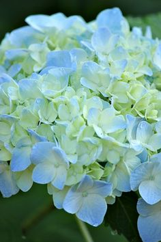 Olive Out: Wild Lush Flower Garden-I am pleased as punch to say that I propagated this hydrangea.