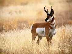 """Known as """"prairie ghosts"""" because they are so elusive, the Sonoran pronghorn is the fastest land mammal in North America. Smaller and lighter in color than other pronghorn subspecies, it is uniquely adapted for survival in harsh arid conditions."""