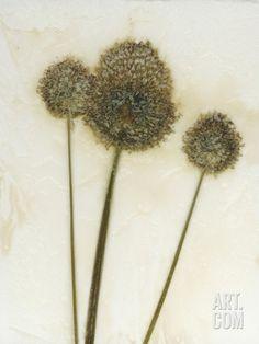 Allium II Photographic Print