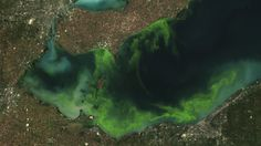 The Toxic Algae Are Not Done with Toledo. Not by a Long Stretch. Can you say Roundup?