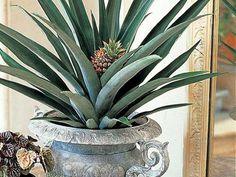 Ananas en pot, une plante d'interieur exotique  - E. Brenckle - Rustica