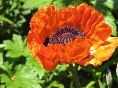 cool Oriental poppy flower Free For Mobile