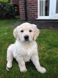 Cute Dogs And Puppies, Baby Puppies, I Love Dogs, Pet Dogs, Dog Cat, Doggies, White Retriever, Retriever Puppy, Baby Animals