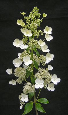 Hydrangea paniculata 'Kyushu'. The panicle flower opens with a green tint which turns white as the fertile flowers open.