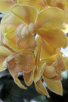 Cymbidium orchids by Lord V, via Flickr