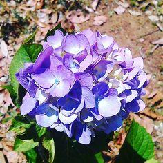 紫の紫陽花 #landscape