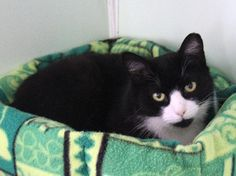 Cat ready for adoption: Domestic Short Hair named Willy in Calverton, NY
