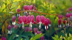 Ungewöhnliche Blüten und schmuckes Laub: Das Tränende Herz. (Quelle: imago/Harald Lange)