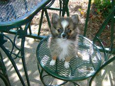 Zeus the pomchi...pomeranian and chihuahua