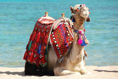 Sharks Bay, Sharm el-Sheikh, Egypt, great prices too. Going on a camel is so fun Places To Travel, Places To See, Places Around The World, Around The Worlds, African Holidays, Visit Egypt, Egypt Today, Red Sea, Giza
