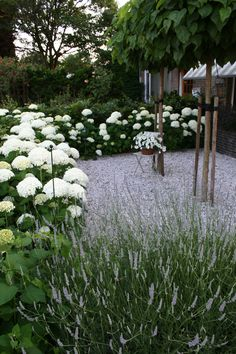 Gravel , White hydrangeas inter-planted with white  lavender ... white salvias would work too