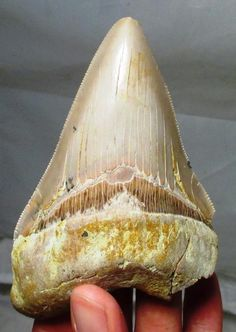 """""""A 5-inch Megalodon tooth from Shark Tooth Hill, Bakersfield, California. Miocene age. #fossilfriday #sharks"""""""