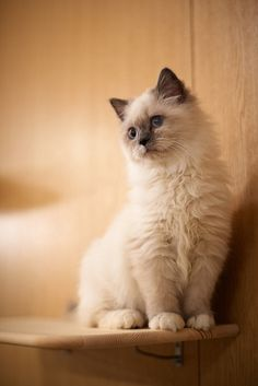 Lovely young ragdoll kitten