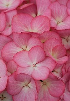 Beautiful pink flowers of Hydrangea
