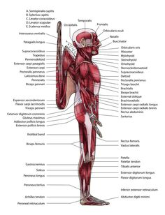 (A. vinceria) Muscles Lateral by squidlifecrisis on DeviantArt
