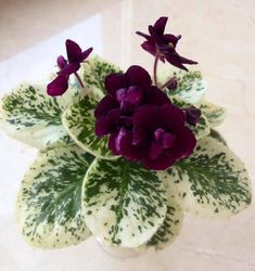 Mac's Dark Night of the Soul ((G. McDonald)) Semidouble, black ruffled pansy flower with dark coral-red reverse. Variegated, medium green and white, ovate, serrated foliage. Semiminiature