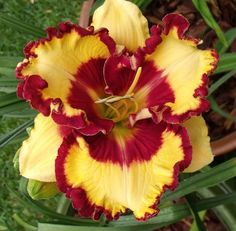 Daylily (Hemerocallis 'Can't Touch This') I would like to try and find this!  Beautiful!