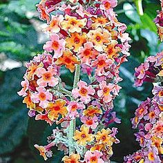 """Kaleidoscope Butterfly Bush.  Butterflies and hummingbirds love the fragrant, multicolored blooms of this 6-8' shrub. Masses of lavender, yellow and orange blossoms from midsummer to fall. Great for borders or arrangements. Ships in a Jumbo deep 5"""" pot."""