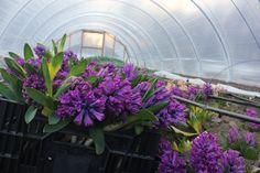 digging #hyacinths for our #spring #csa members #fiveforkfarms #flowerfarm #slowflowers #fieldtovase #locallygrown