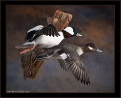 bufflehead-taxidermy-mounts