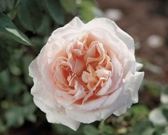 Roses named after celebrities! The Betty White Rose. Creamy white with apricot pink center with classic rose scent. #roses