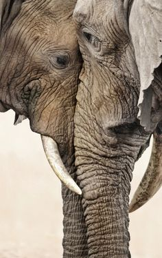 Elephants, meeting face to face <3