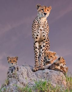 "radivs: "" Family Portrait from Africa by Arun Mohanraj "" Cheetah Family"