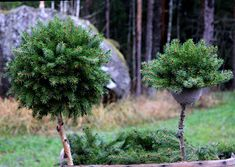 rautakaupoissa Spruce Tree, Branches, Dandelion, Christmas Wreaths, Flowers, Plants, Pine, Christmas
