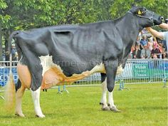 X bred Dairy Cattle | Inter-breed dairy champion, Holstein Dalesend Storm Maude from Hefin ...