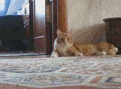gatti con comportamenti strani e divertenti in movimento (10)