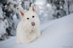 Pure white beauty.. White Swiss Shepherd in the snow..
