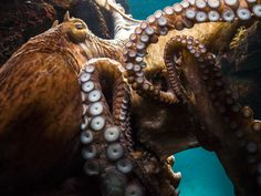 Wusstet Ihr, dass Kraken 3 Herzen und 9 Gehirne haben? Mehr erstaunliche Fakten aus der Tierwelt in unserem magazin.deine-tierwelt.de.