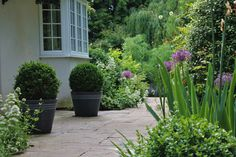 Garden by Flowered Up: path to front door with box balls, alliums and irises