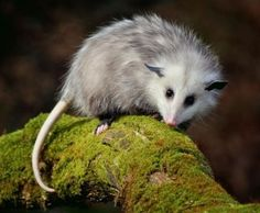 Opossums are masters at destroying ticks. This is because they are very fastidious animals, constantly grooming themselves and removing (and eating) parasites like ticks. One opossum can take out around 5,000 ticks each year. That alone makes them worth having around!