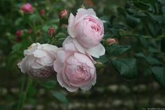 Scepter'd Isle - David Austin Shrub rose - 1989 -  This is the healthiest and prettiest modern rose in my Florida yard.   For Florida and Deep South rose lovers who wish they could grow the romantic European roses (Gallicas, Albas, etc.), I recommend this one.