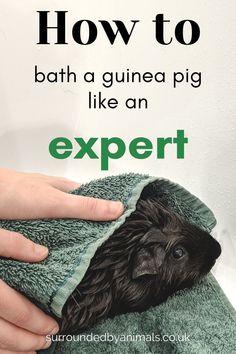 Diy Guinea Pig Cage, Guinea Pig Food, Pet Guinea Pigs, Guinea Pig Care, Guinnea Pig, Guinea Pig Accessories, Skinny Pig, Baby Pigs, Pet Care Tips