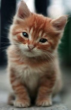 I love orange cats! Kittens And Puppies, Cute Cats And Kittens, Kittens Cutest, Pretty Cats, Beautiful Cats, Animals Beautiful, Cute Baby Animals, Animals And Pets, Funny Animals