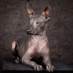Xoloitzcuintli | WOOFipedia by The American Kennel Club
