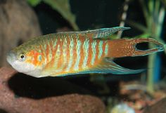 Macropodus opercularis - Google Search