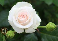 Blush Bridal Akito Roses l Wholesale Flowers & DIY Wedding Flowers Daisy Wedding, Diy Wedding Flowers, Blush Roses, Blush Pink, Colorful Flowers, Pink Flowers, Chelsea Wedding, Blush Bridal, Wedding Flower Inspiration