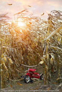 www.arcangel.com - little-red-tricycle-in-corn-field